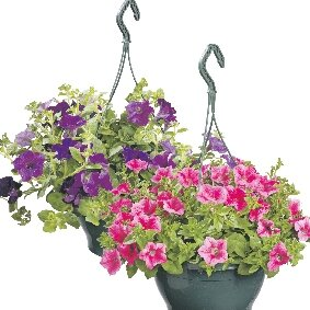Petunia Surfinia in hangpot